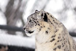 Mama Snow Leopard by Joe-Lynn-Design