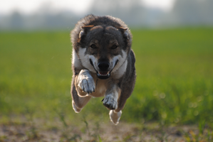 Fly wolfdog, fly! by Wazniaki