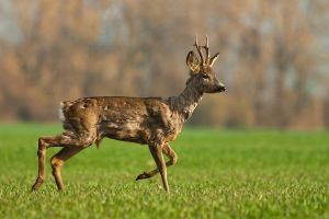 Running roe deer by JMrocek