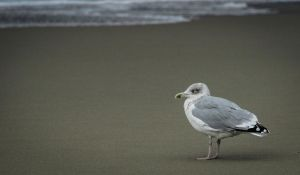 Gull with a cold by Brandzai
