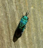 Cuckoo Wasp by duggiehoo