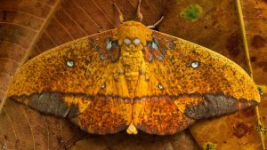 Saturniid moth, Yasuni National Park, Ecuador by BalochDesign