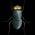 CP,P1: WIP Calliphora Vicina by Godgiver