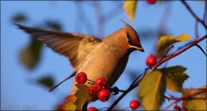Waxwing the berrybird by Starfall00