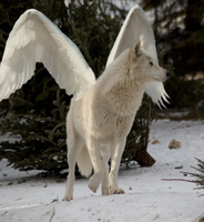 Winged Winter Wolf by Wolf-Shadowrunner