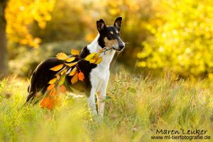 autumn collie by ~Maaira