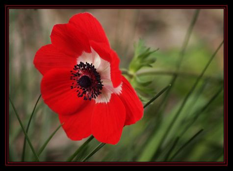 First Anemone This Season. by Firey-Sunset
