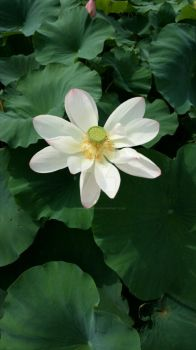 Lotus Flower ( full image ) by florianbenson