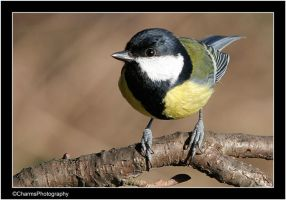 Great Tit 2 by CharmingPhotography