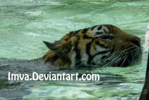 Swimmming Tiger by Imva