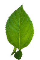 Leaf PNG by JustinBHB