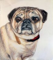 Murfey the Pug by artbyjpp