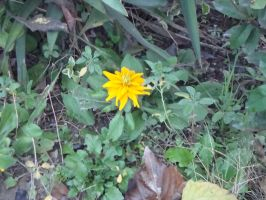 Autumn exploring - Solo yellow flower by Laura-in-china