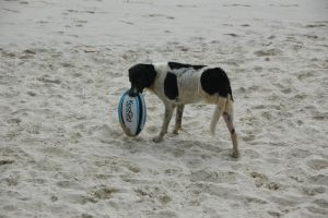 three-legged dog with a rugby ball by trouto