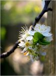 Pear Blossom I by Jemiyah