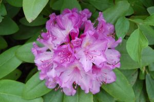 Purple Rhododendron Flower by ed335dot