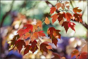 Maple Leaves 3 by kootenayphotos