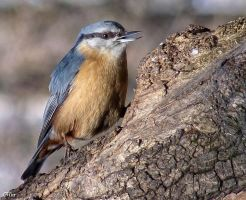 Nuthatch by miirex