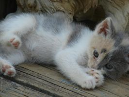 Calico kitten 2 by thefunkexpress