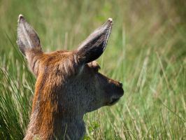 Red Deer Hind 03 - May 12 by mszafran