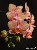 Blooming Orchids by mjohanson