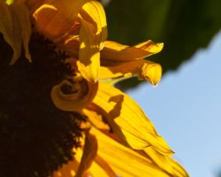 The Yellow Curl by AngelaLeonetti