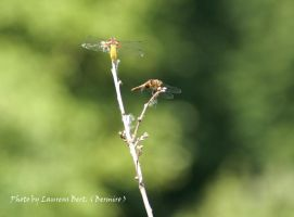 Broad-bodied Chaser. by Bermiro