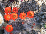 Orange Cactus flowers by c-car