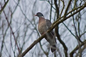 Winter Wood Pigeon by rogerdurling