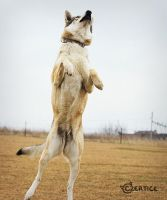 Wolfdogs Can Fly XIII. by Czertice