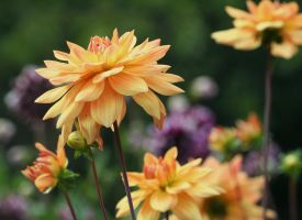 dahlias cologne 17 by ingeline-art