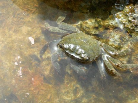Crab by piterson