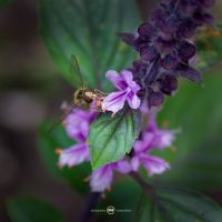 marmalade hoverfly by MBKKR