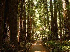 Trail Through Muir Woods by mit19237