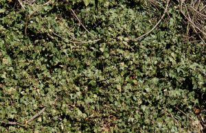 Ivy Texture - 5 by AGF81
