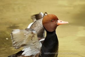 Red Eyed Duck by TalesFromTheForest
