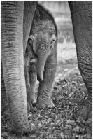 Baby Elephant 107-11-11 by lomoboy