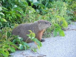Groundhog 001 by presterjohn1