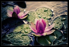 Water Lily 01 by miki3d