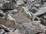 Jumping Baby Mountain Goat by mjohanson