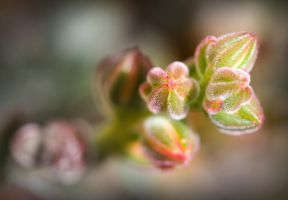 Winter rose buds by H6RM