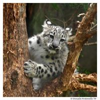 Baby Snow Leopard: In Tree by TVD-Photography