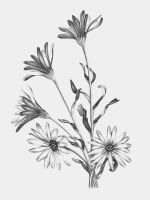Osteospermum by Allison-beriyani