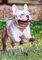 French Bulldog ballpen drawing by 22Zitty22