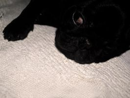 Noire the sleepy pug by AnAntichrist11