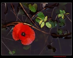 Drowned poppy by Ravensilver