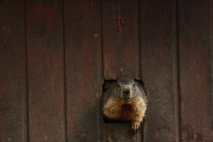 Greetings from a marmot by DarkTara