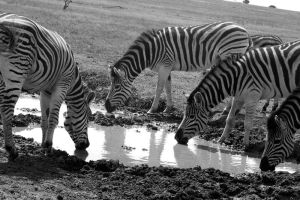Zebras - Quenching the thirst by Danie-07