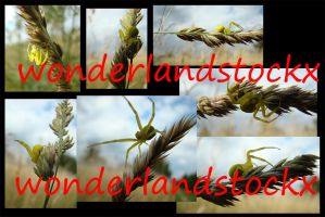 spiders 1 - yellow in strange positions on wheat by wonderlandstockX