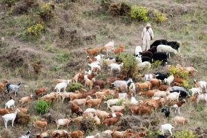 SHEEP AND GOAT HERDER COMPETA SPAIN by Coquin